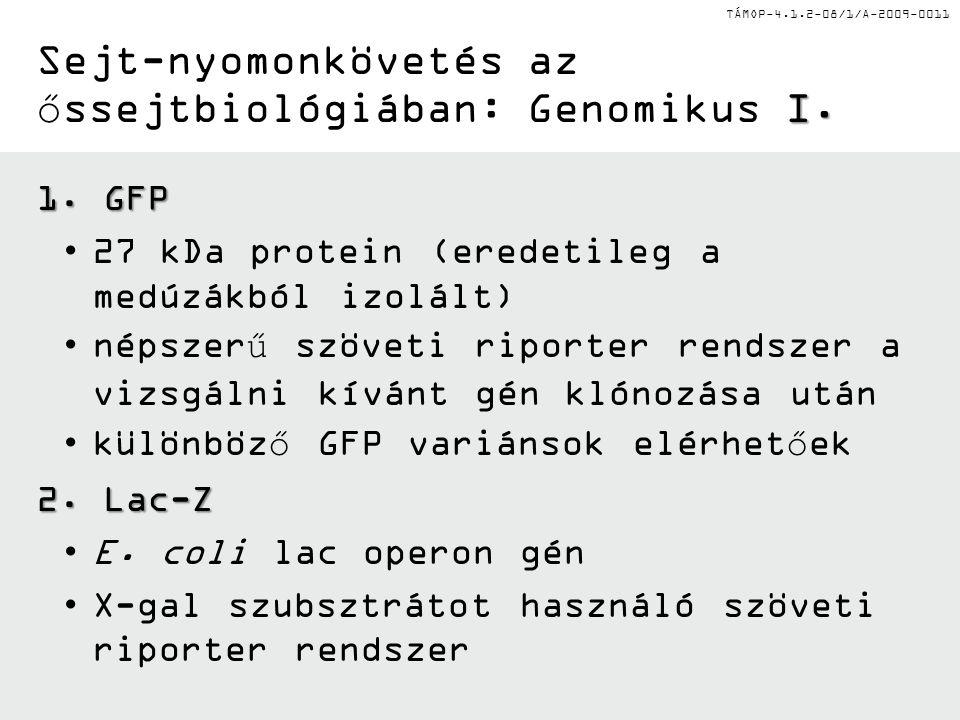 TÁMOP-4.1.2-08/1/A-2009-0011 I. Sejt-nyomonkövetés az őssejtbiológiában: Genomikus I. 1. GFP •27 kDa protein (eredetileg a medúzákból izolált) •népsze