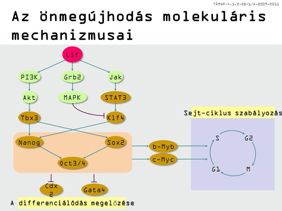 TÁMOP-4.1.2-08/1/A-2009-0011 Az önmegújhodás molekuláris mechanizmusai G2 G1M S Sejt-ciklus szabályozás A differenciálódás megelőzése Sox2 Nanog Oct3/