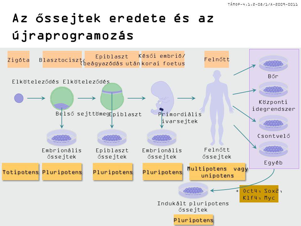 TÁMOP-4.1.2-08/1/A-2009-0011 Az őssejtek eredete és az újraprogramozás + Oct4, Sox2, Klf4, Myc Blasztociszta Embrionális őssejtek PluripotensPluripote