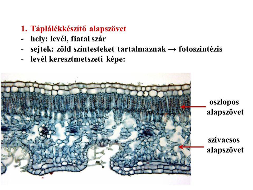 1.Táplálékkészítő alapszövet -hely: levél, fiatal szár -sejtek: zöld színtesteket tartalmaznak → fotoszintézis -levél keresztmetszeti képe: oszlopos a