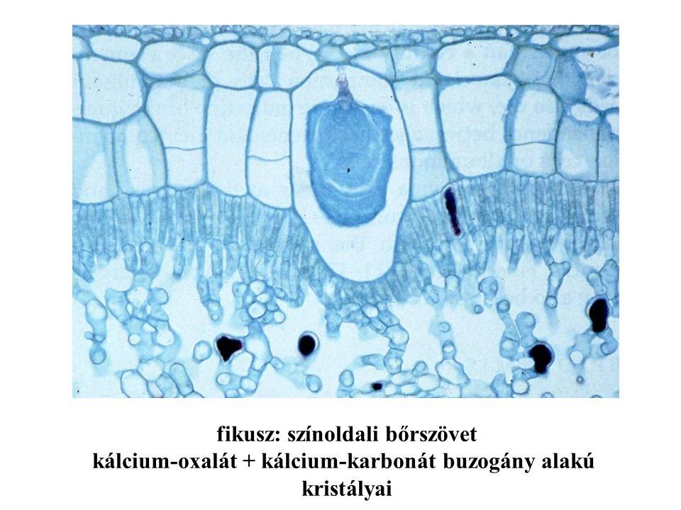 fikusz: színoldali bőrszövet kálcium-oxalát + kálcium-karbonát buzogány alakú kristályai