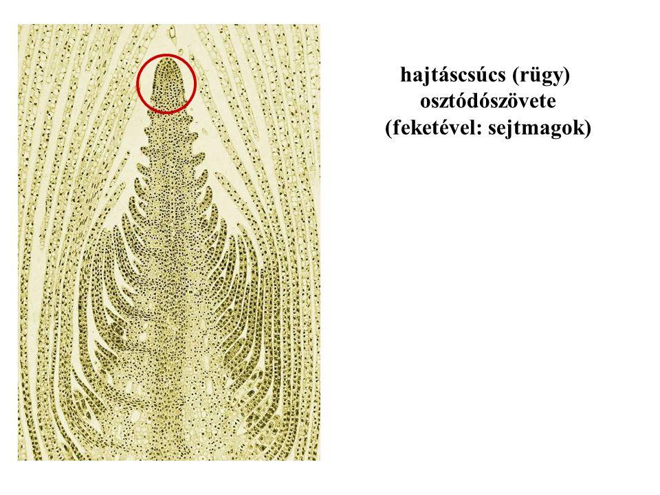 hajtáscsúcs (rügy) osztódószövete (feketével: sejtmagok)
