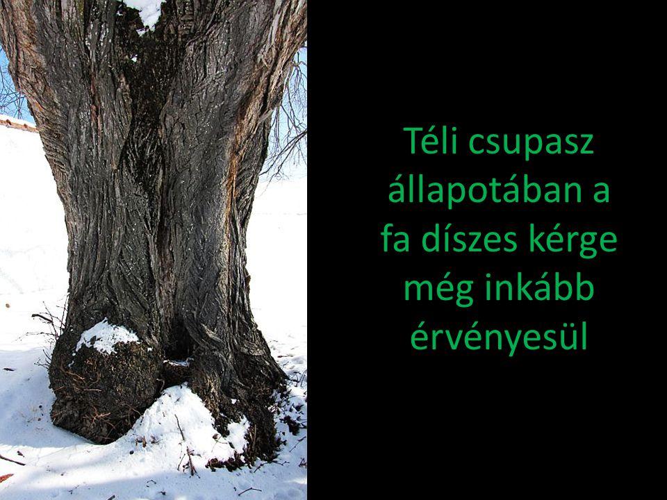 Téli csupasz állapotában a fa díszes kérge még inkább érvényesül