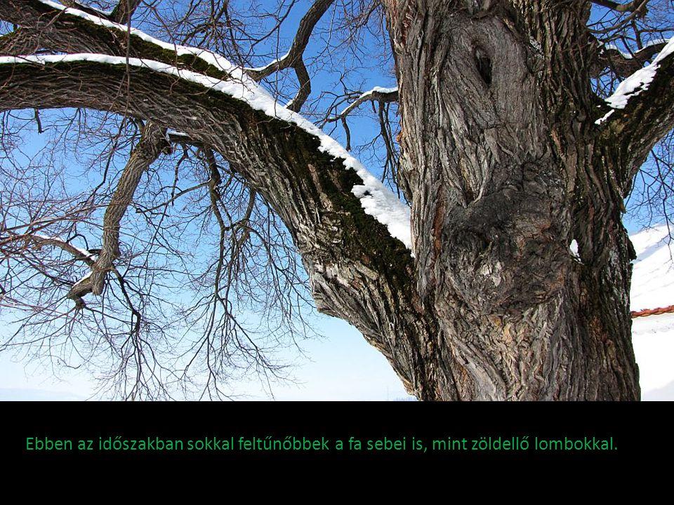 Ebben az időszakban sokkal feltűnőbbek a fa sebei is, mint zöldellő lombokkal.