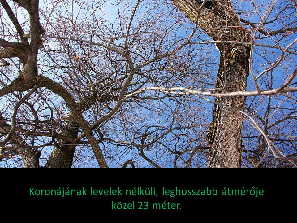 Koronájának levelek nélküli, leghosszabb átmérője közel 23 méter.