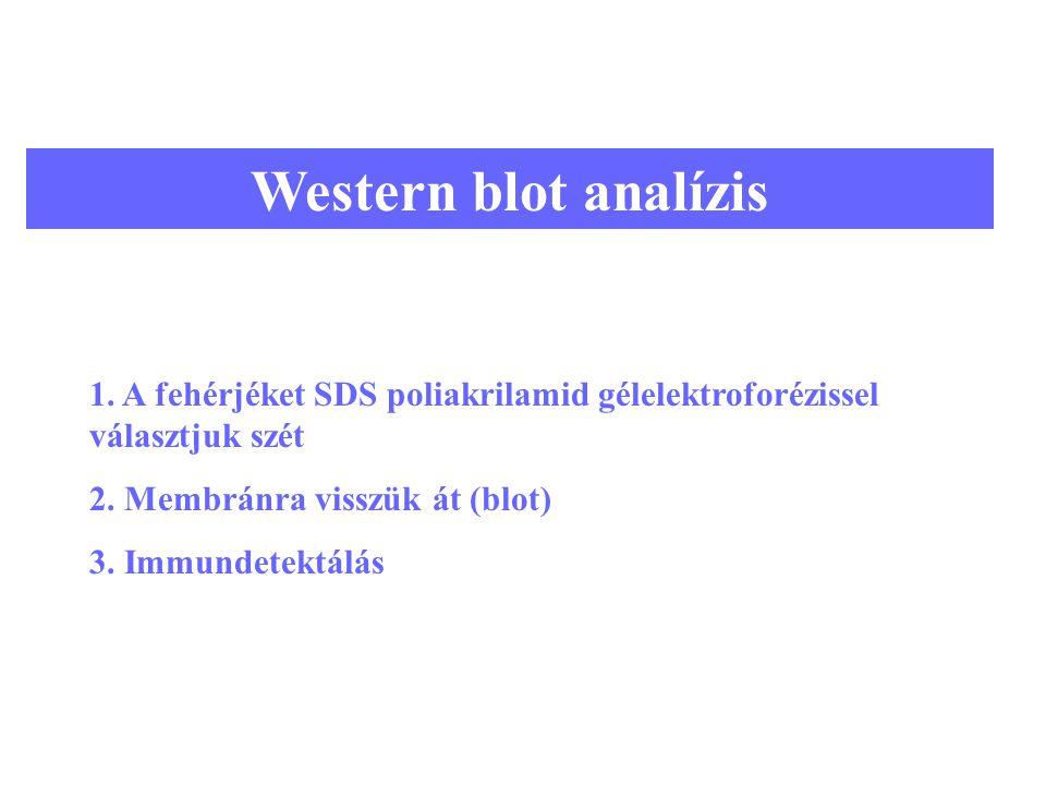 11 Western blot analízis 1. A fehérjéket SDS poliakrilamid gélelektroforézissel választjuk szét 2. Membránra visszük át (blot) 3. Immundetektálás