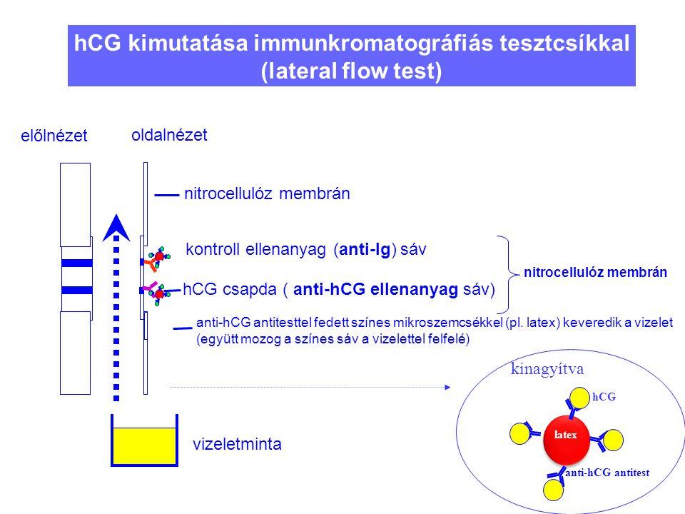 45 hCG kimutatása immunkromatográfiás tesztcsíkkal (lateral flow test) nitrocellulóz membrán anti-hCG antitesttel fedett színes mikroszemcsékkel (pl.