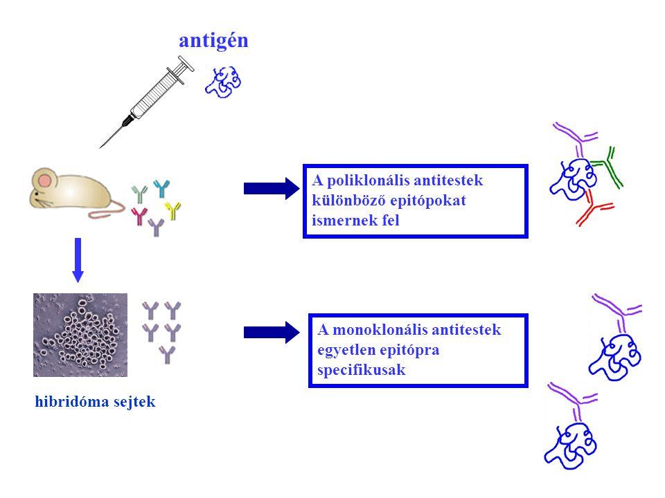 55 A poliklonális antitestek különböző epitópokat ismernek fel A monoklonális antitestek egyetlen epitópra specifikusak antigén hibridóma sejtek
