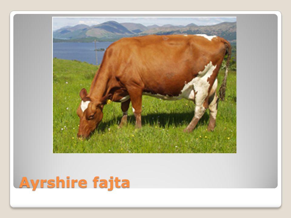Ayrshire fajta