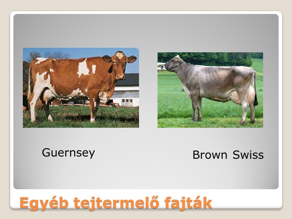 Egyéb tejtermelő fajták Guernsey Brown Swiss