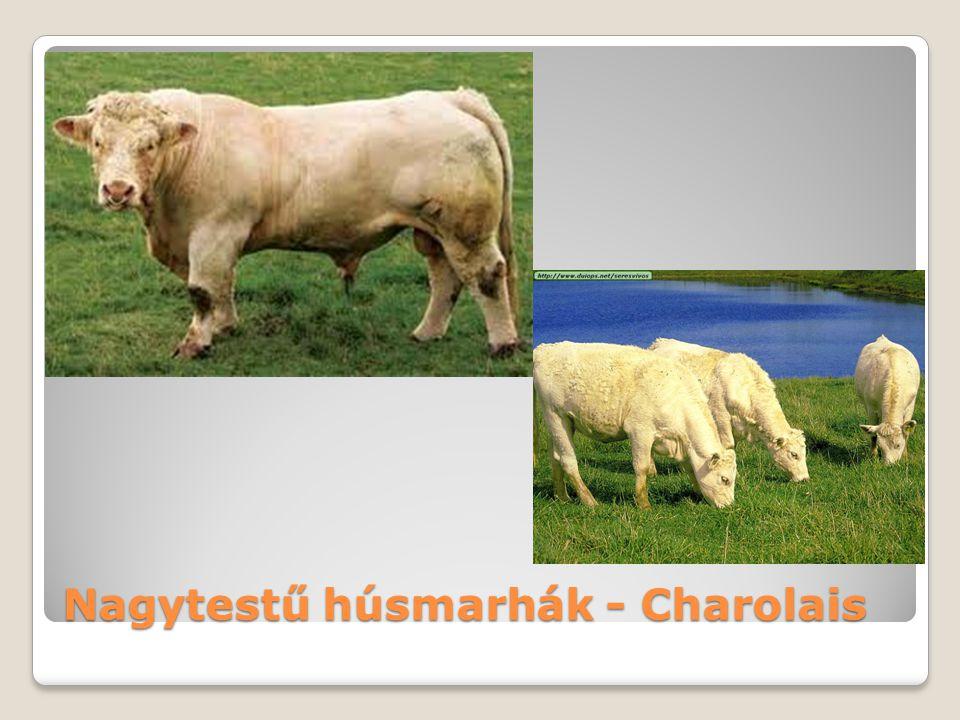 Nagytestű húsmarhák - Charolais