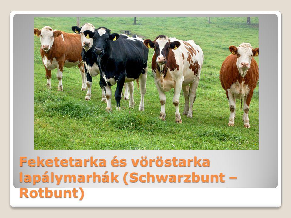 Feketetarka és vöröstarka lapálymarhák (Schwarzbunt – Rotbunt)