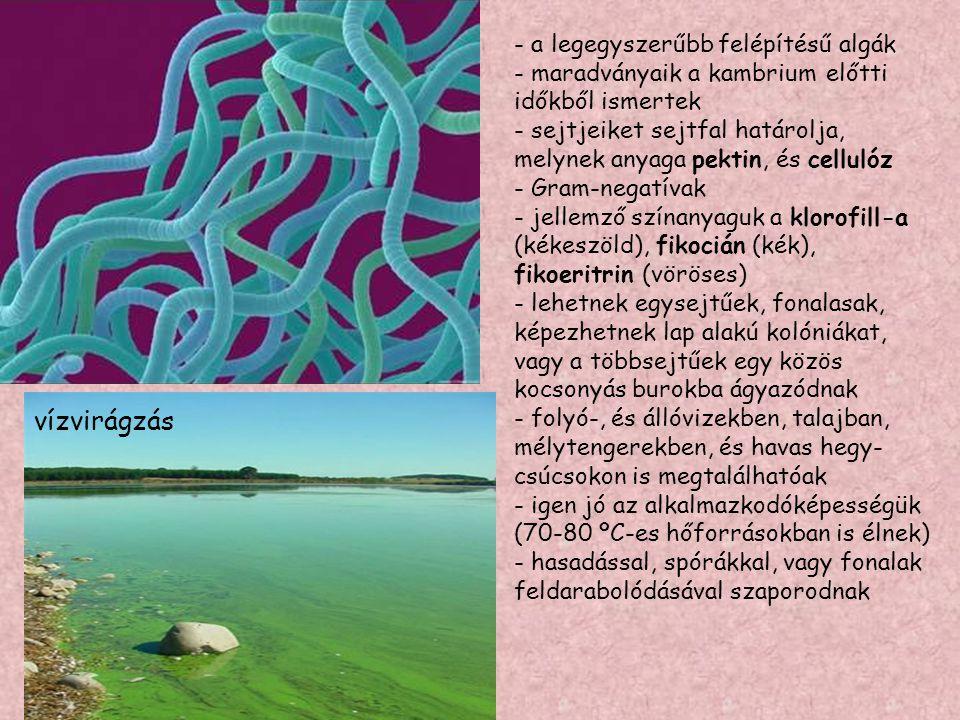 bíborbaktériumok .
