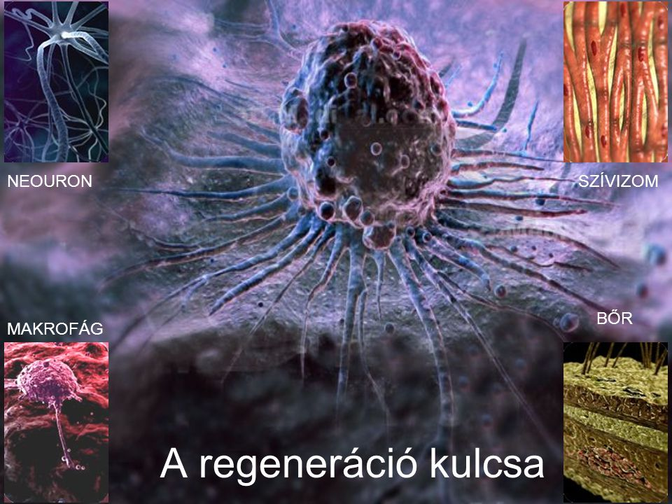 A regeneráció kulcsa MAKROFÁG NEOURONSZÍVIZOM BŐR