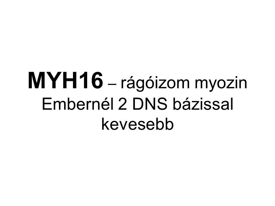 MYH16 – rágóizom myozin Embernél 2 DNS bázissal kevesebb