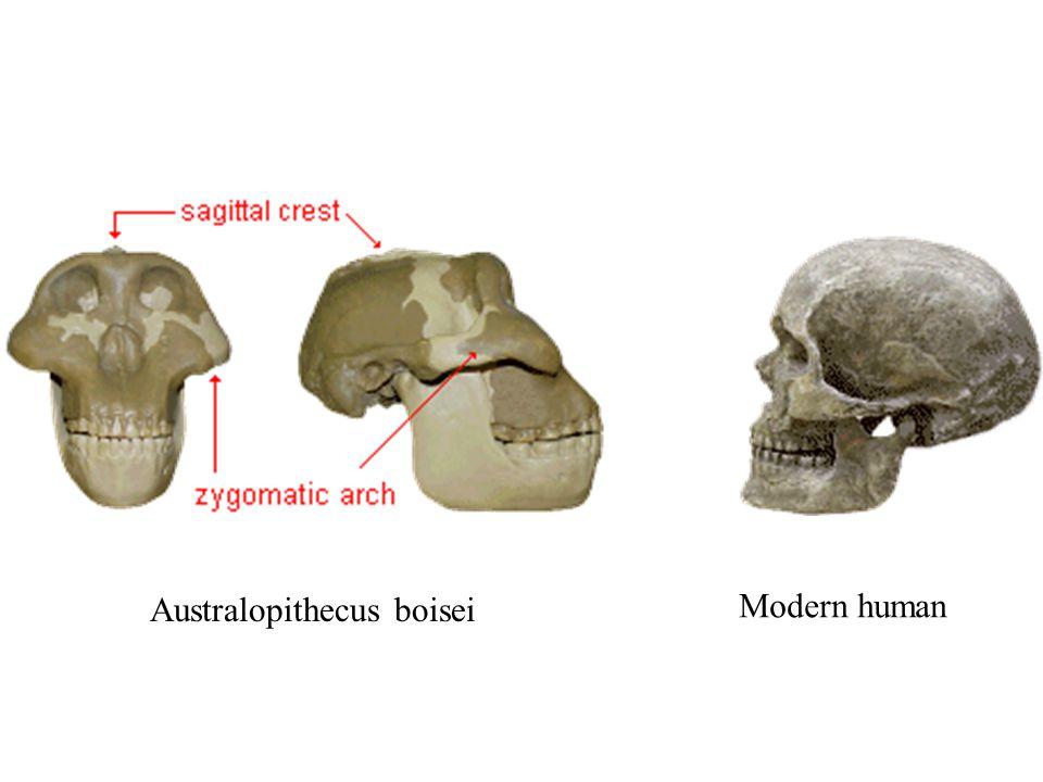 Australopithecus boisei Modern human