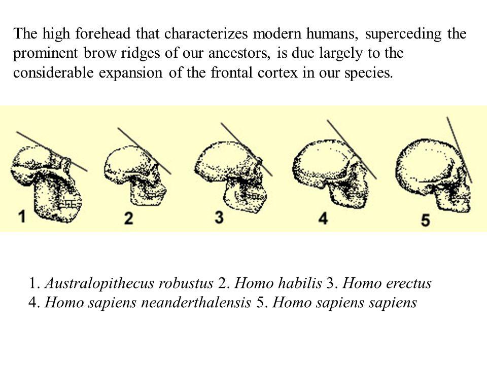 1. Australopithecus robustus 2. Homo habilis 3. Homo erectus 4.