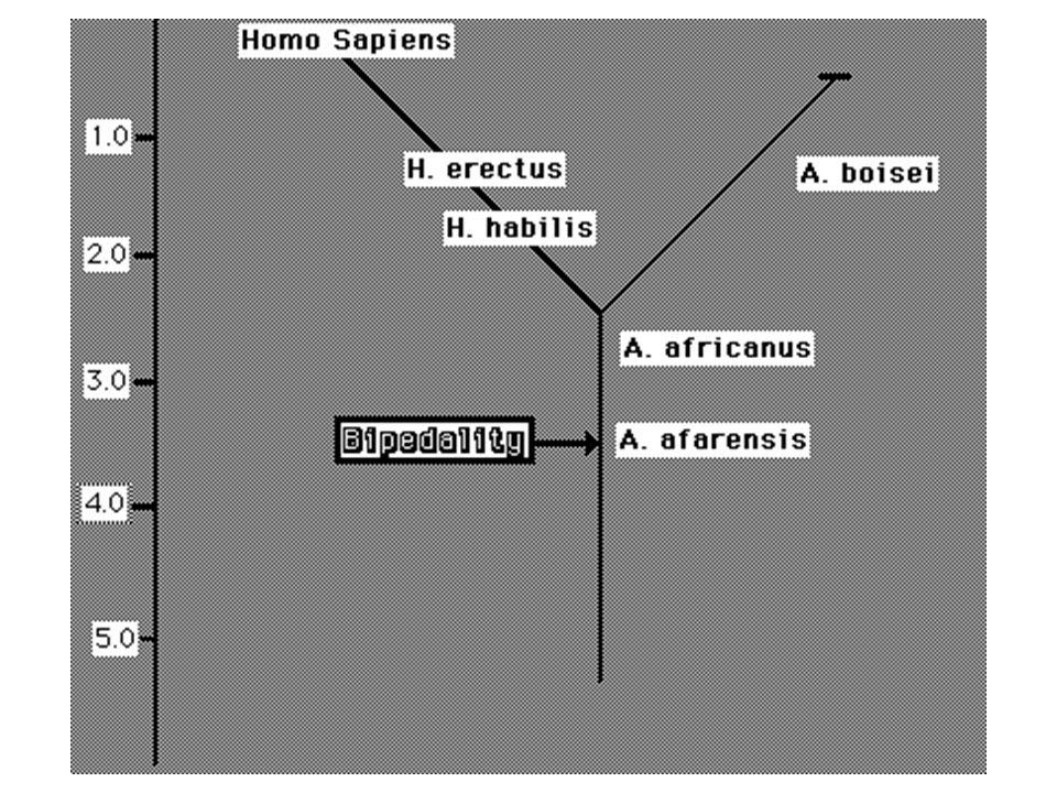HAR1 = human accelerated region Kéreg megnagyobbodás – szerkezet kialakítás