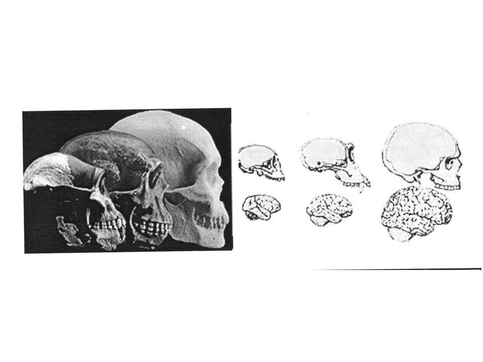 Name Brain weight (gm) A.afarensis 413 A. boisei 510 H.