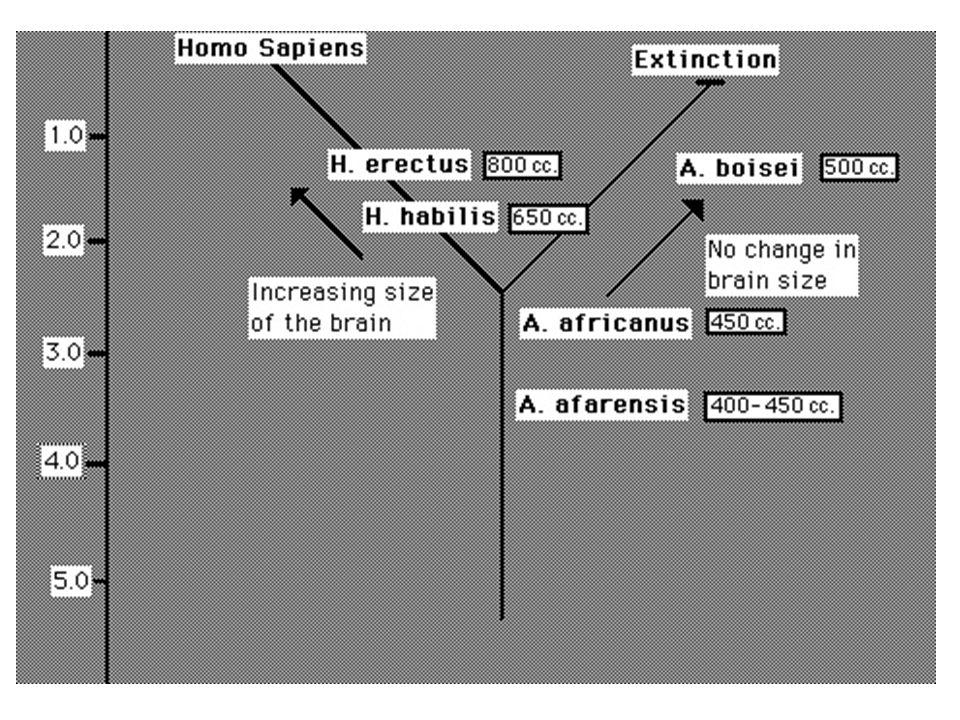 Agy térfogat nagyobbodás lehetséges okai: - Diéta (étrend változás) - Szocializáció - Fejlődésgenetika