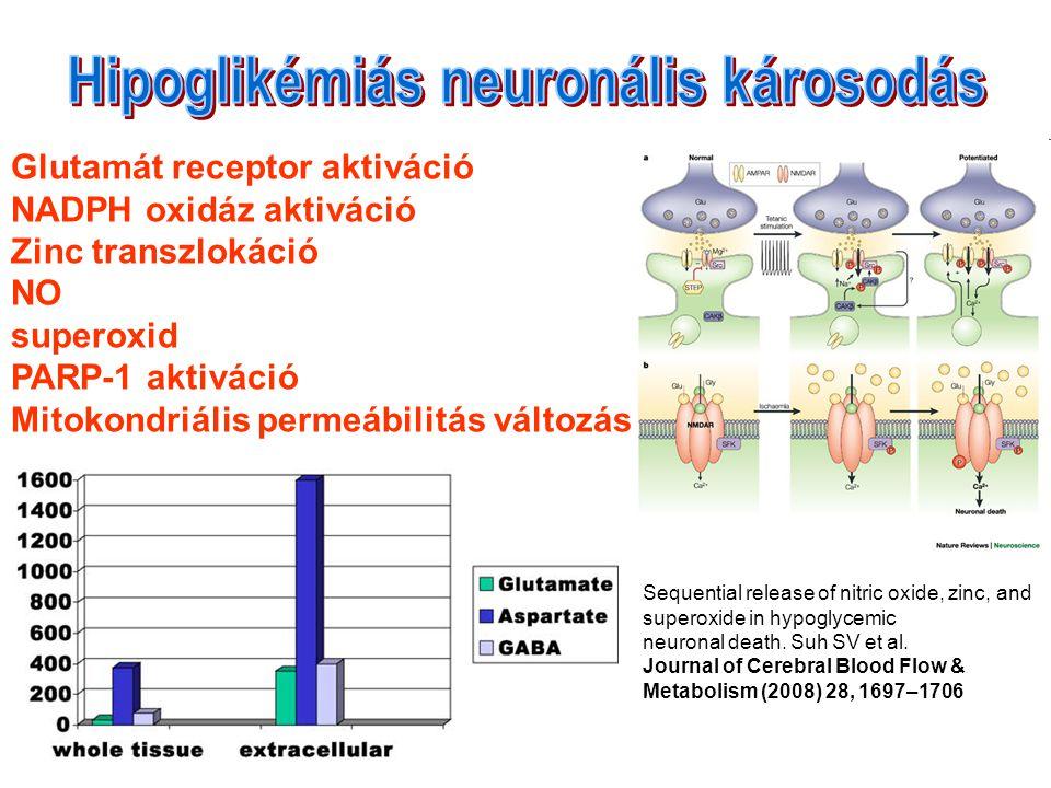 Glutamát receptor aktiváció NADPH oxidáz aktiváció Zinc transzlokáció NO superoxid PARP-1 aktiváció Mitokondriális permeábilitás változás Sequential release of nitric oxide, zinc, and superoxide in hypoglycemic neuronal death.