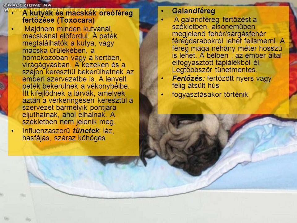 A kutyák és macskák orsóféreg fertőzése (Toxocara) Majdnem minden kutyánál, macskánál előfordul. A peték megtalálhatók a kutya, vagy macska ürülékében