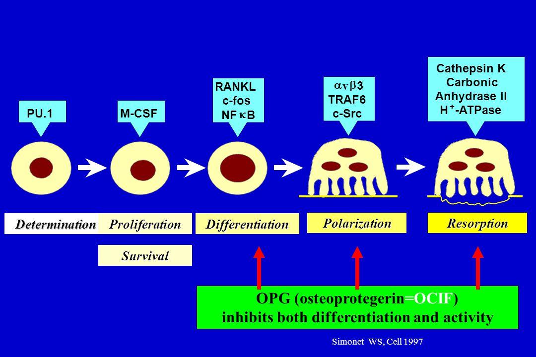 PU.1M-CSF RANKL c-fos NF  B  v  3 TRAF6 c-Src Cathepsin K Carbonic Anhydrase II H -ATPase + DeterminationProliferationDifferentiation PolarizationR