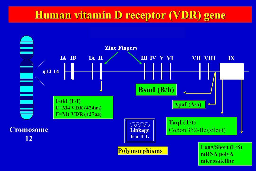 IAIBIAIIIIIIVV VIVIIVIIIIX Zinc Fingers Human VDR Gene ApaI (A/a) Polymorphisms q13-14 Human vitamin D receptor (VDR) gene BsmI (B/b) Human VDR Gene C
