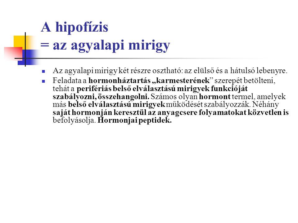 A hipofízis = az agyalapi mirigy Az agyalapi mirigy két részre osztható: az elülső és a hátulsó lebenyre.