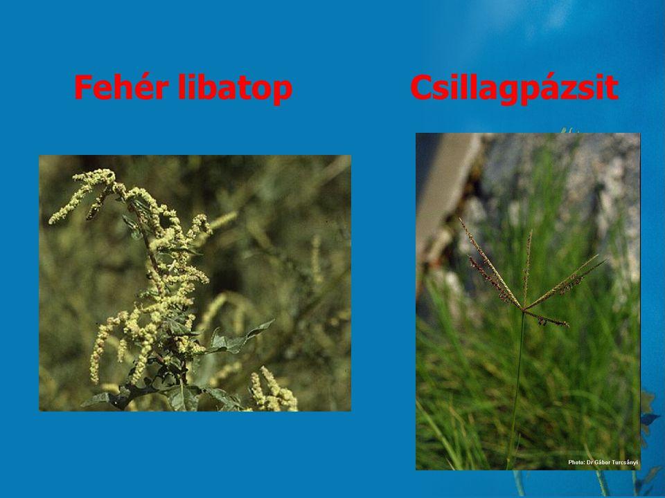 Pollen statisztika Füvek 1., Fehér libatop (Chenopodium album) 66% 2., Csillagpázsit (Cynodon dactylon) 52% 3., Nád (Phragmites australis) 50% 4., Rét