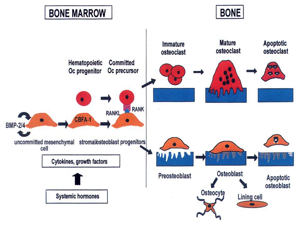 A csontátépülés (remodeling) - folyamatos megújulás - csontrendszerünk 7-10 évente kicserélődik - öregedéssel lassul