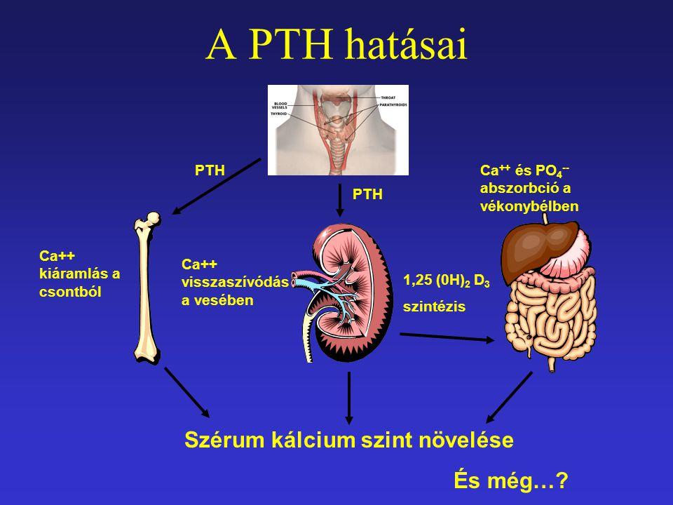 A PTH hatásai PTH Ca++ kiáramlás a csontból Ca++ visszaszívódás a vesében 1,25 (0H) 2 D 3 szintézis Ca ++ és PO 4 -- abszorbció a vékonybélben Szérum