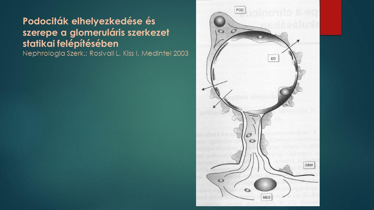 Podociták elhelyezkedése és szerepe a glomeruláris szerkezet statikai felépítésében Nephrologia Szerk.: Rosivall L. Kiss I. Medintel 2003