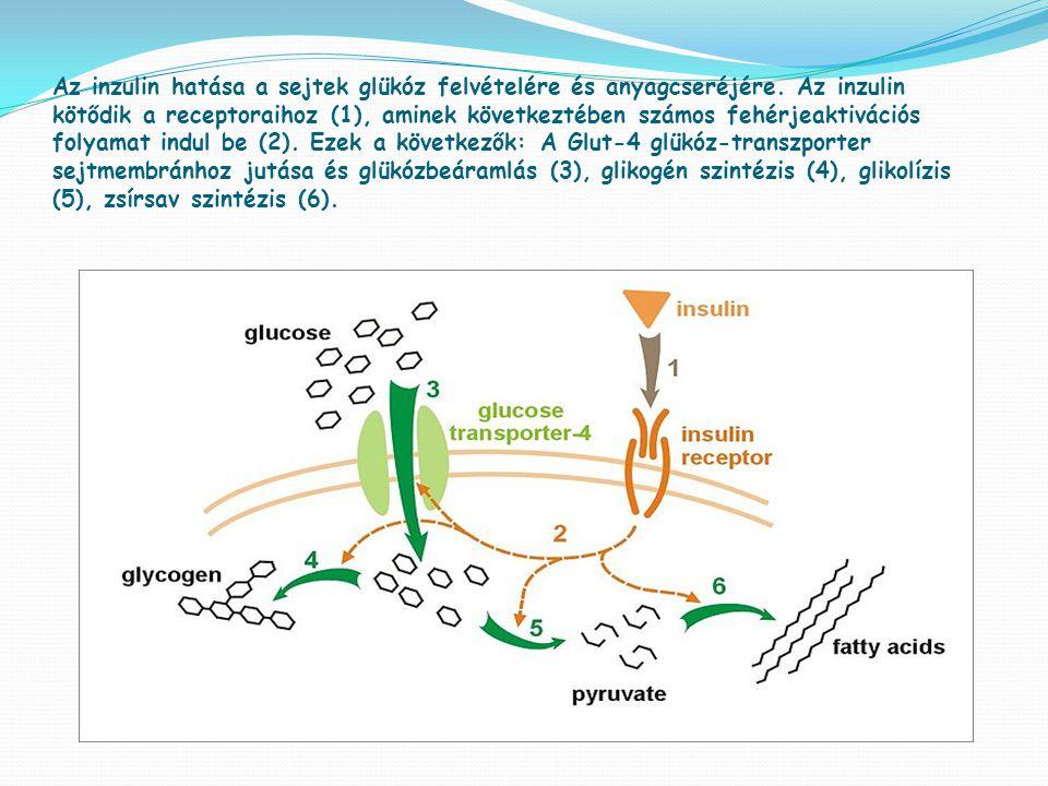Az inzulin hatása a sejtek glükóz felvételére és anyagcseréjére.