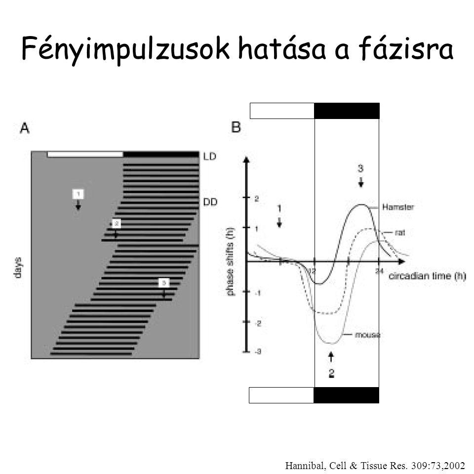 Fényimpulzusok hatása a fázisra Hannibal, Cell & Tissue Res. 309:73,2002