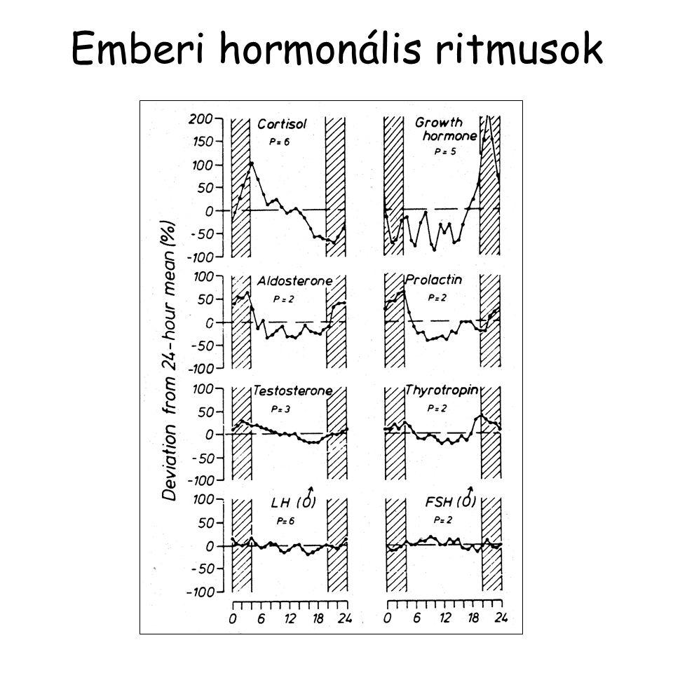 Emberi hormonális ritmusok