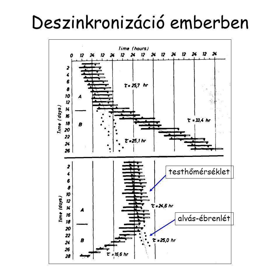 Deszinkronizáció emberben testhőmérséklet alvás-ébrenlét