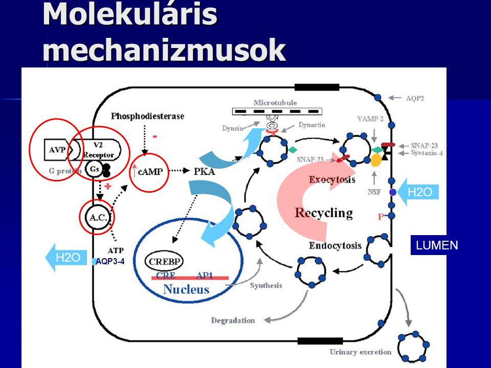 Molekuláris mechanizmusok H2O AQP3-4 H2O LUMEN