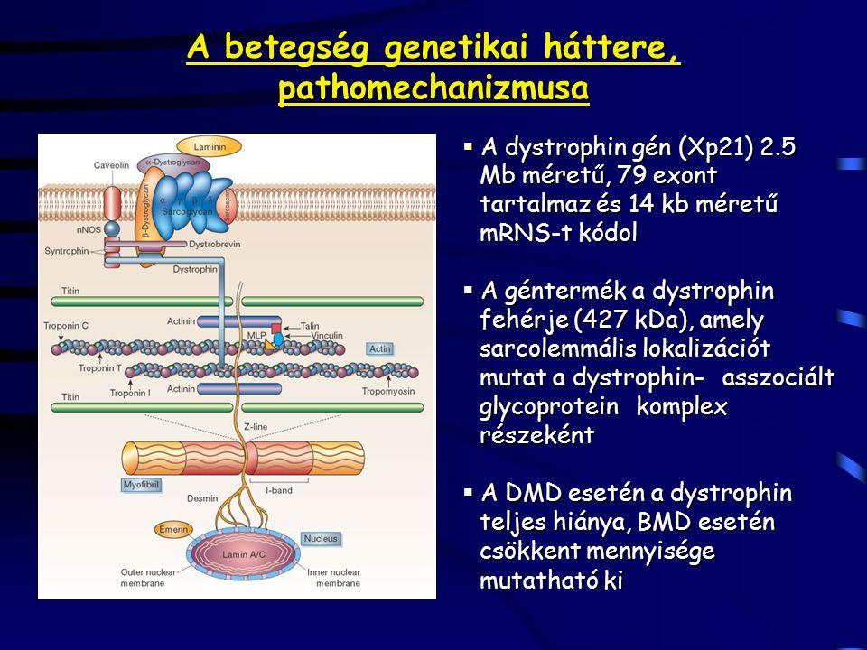 A betegség genetikai háttere, pathomechanizmusa  A dystrophin gén (Xp21) 2.5 Mb méretű, 79 exont tartalmaz és 14 kb méretű mRNS-t kódol  A géntermék a dystrophin fehérje (427 kDa), amely sarcolemmális lokalizációt mutat a dystrophin-asszociált glycoprotein komplex részeként  A DMD esetén a dystrophin teljes hiánya, BMD esetén csökkent mennyisége mutatható ki