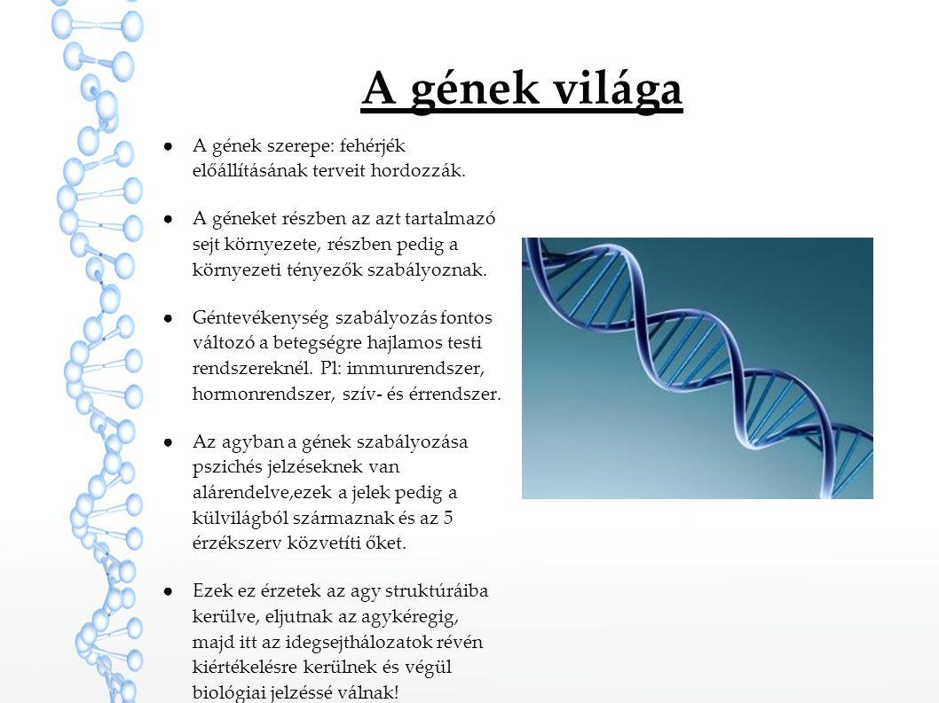 A gének világa ●A gének szerepe: fehérjék előállításának terveit hordozzák. ●A géneket részben az azt tartalmazó sejt környezete, részben pedig a körn