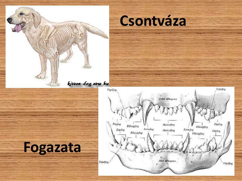 Csontváza Fogazata