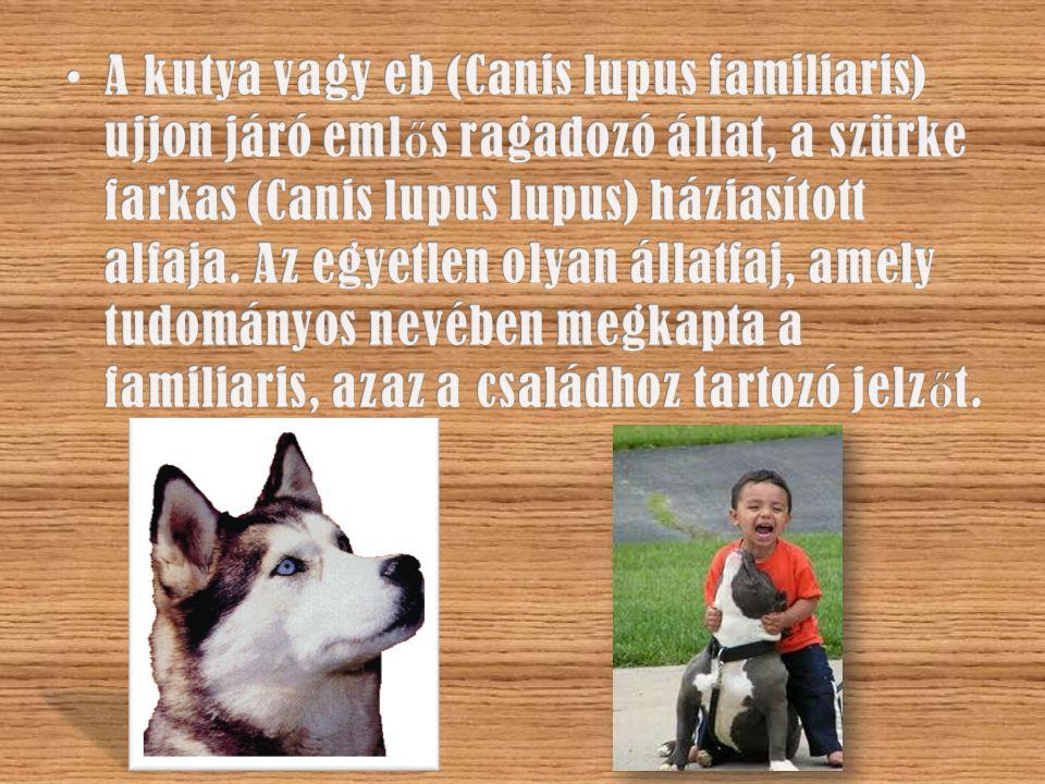 A kutyák ezektől a gyönyörű állatoktól, a farkasoktól származnak.