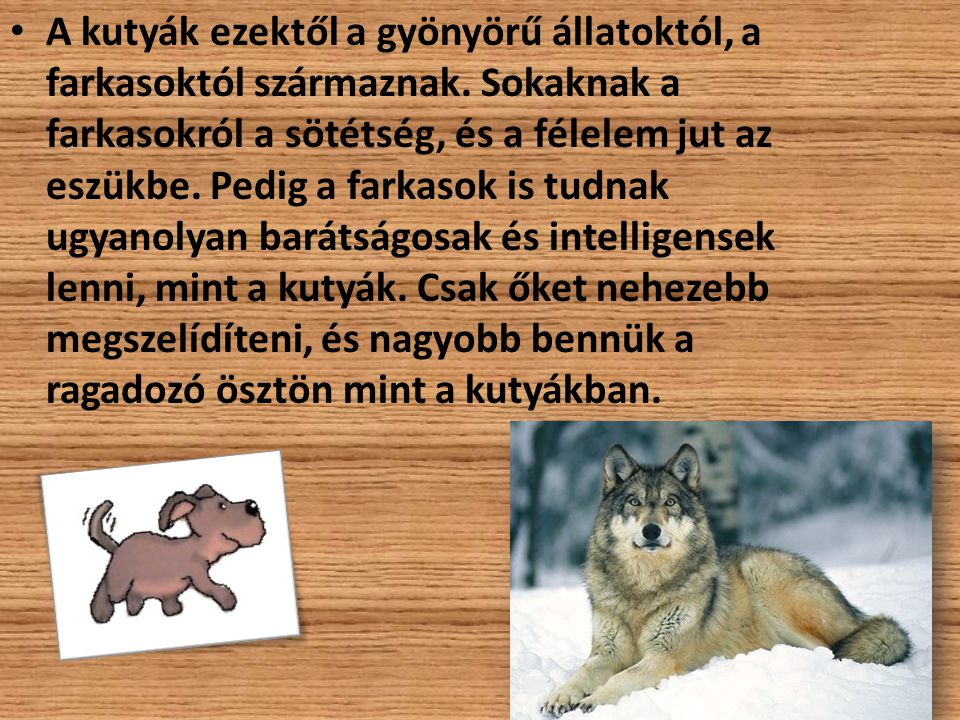 A kutyák ezektől a gyönyörű állatoktól, a farkasoktól származnak. Sokaknak a farkasokról a sötétség, és a félelem jut az eszükbe. Pedig a farkasok is