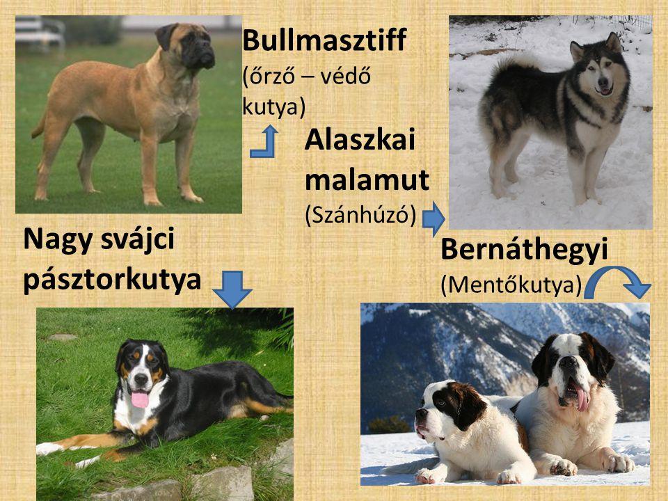 Bullmasztiff (őrző – védő kutya) Alaszkai malamut (Szánhúzó) Bernáthegyi (Mentőkutya) Nagy svájci pásztorkutya