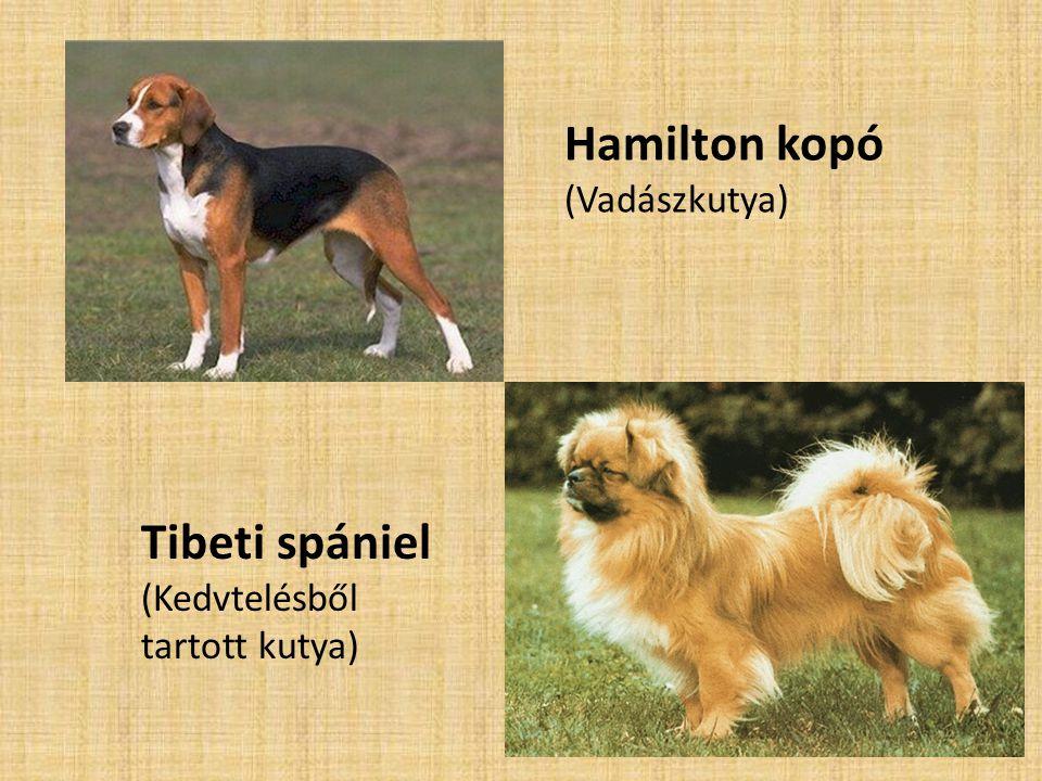 Hamilton kopó (Vadászkutya) Tibeti spániel (Kedvtelésből tartott kutya)