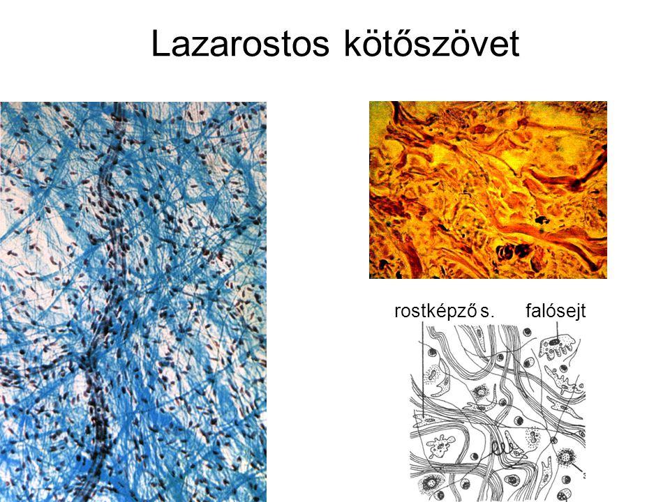 Lazarostos kötőszövet rostképző s. falósejt