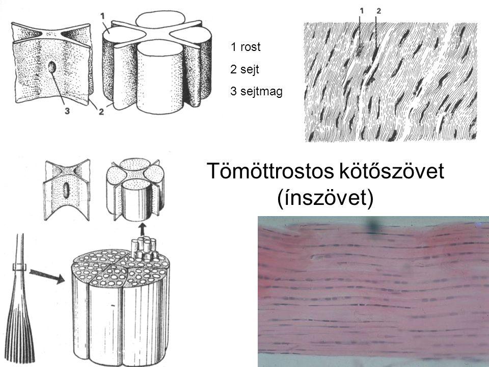 Tömöttrostos kötőszövet (ínszövet) 1 rost 2 sejt 3 sejtmag