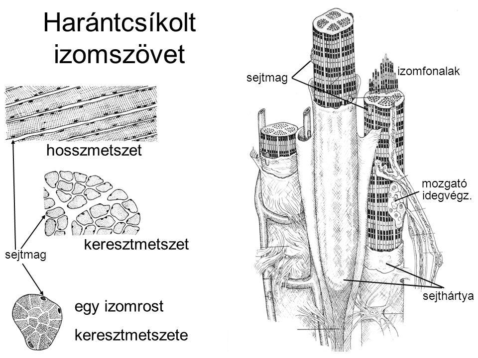 sejtmag Harántcsíkolt izomszövet hosszmetszet keresztmetszet egy izomrost keresztmetszete sejtmag izomfonalak mozgató idegvégz. sejtmag sejthártya