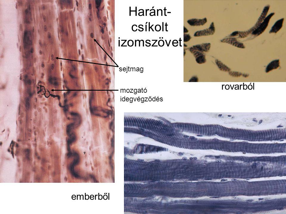 Haránt- csíkolt izomszövet rovarból emberből sejtmag mozgató idegvégződés