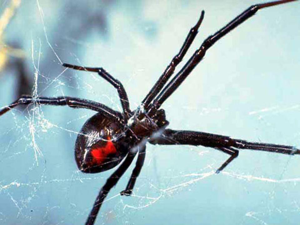 7. helyezett: a feketeözvegy A feketeözvegyek közé (Latrodectus-fajok) tartozó harmincegy pókfaj valamelyikét szerte a világon megtaláljuk, Észak- Ame